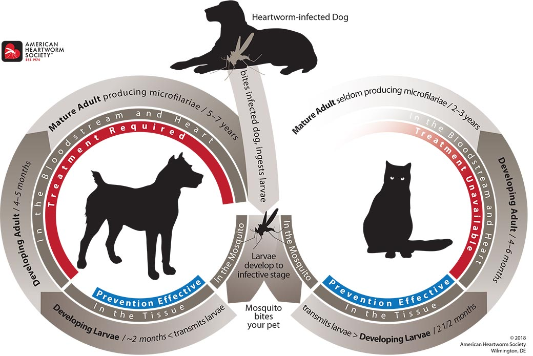 Heartworm Life Cycle Illustration